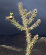 O'keefian cactus and mountain